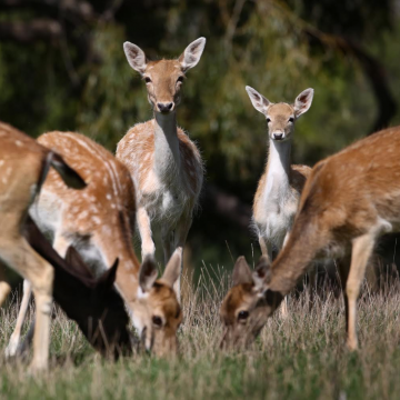 Fallow Does and fawns