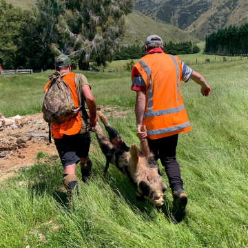 South Island Wild Boar being carried over to the Chopper and sling.