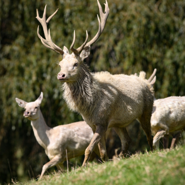 White Red Stag