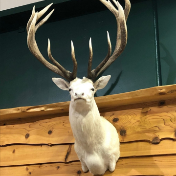 White Stag Displayed in Hunting and Fishing NZ